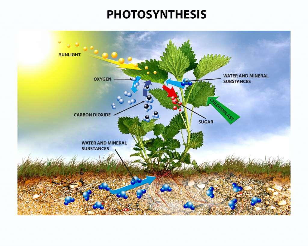 fotosynteza.jpg