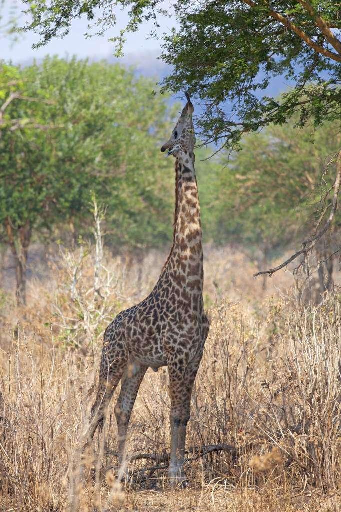 żyrafa.jpg