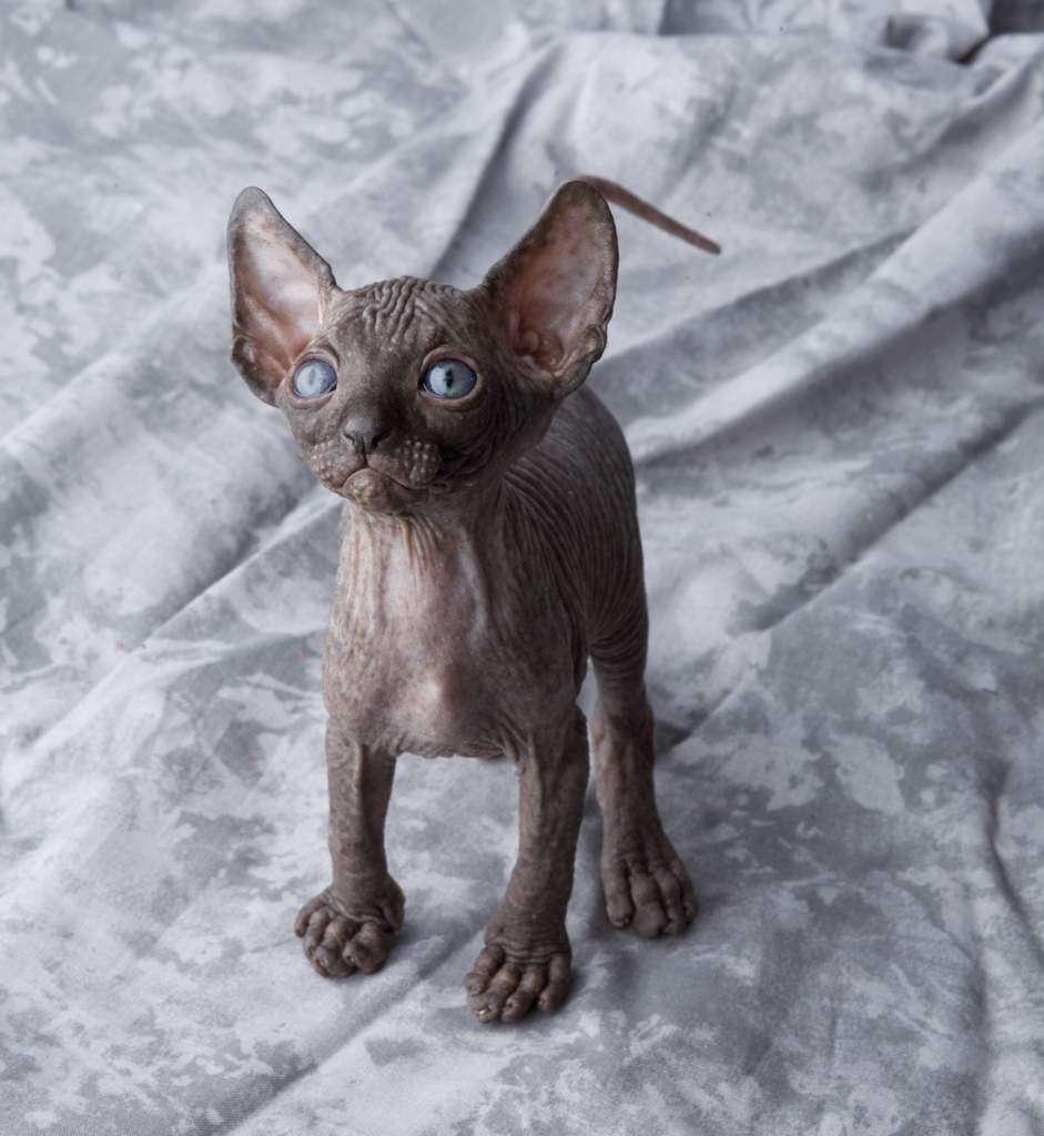 egipskie-koty.jpg