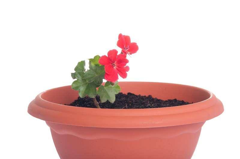 geranium-uzdrawianie.jpg