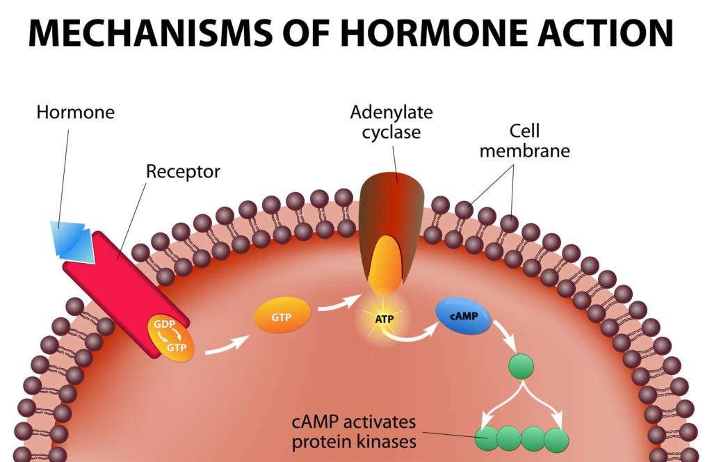 hormony.jpg