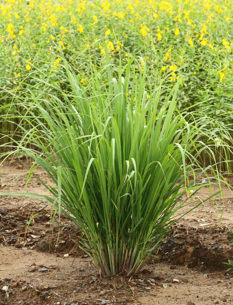 trawa-cytrynowa-palczatka-cytrynowa-lemongrass.jpg