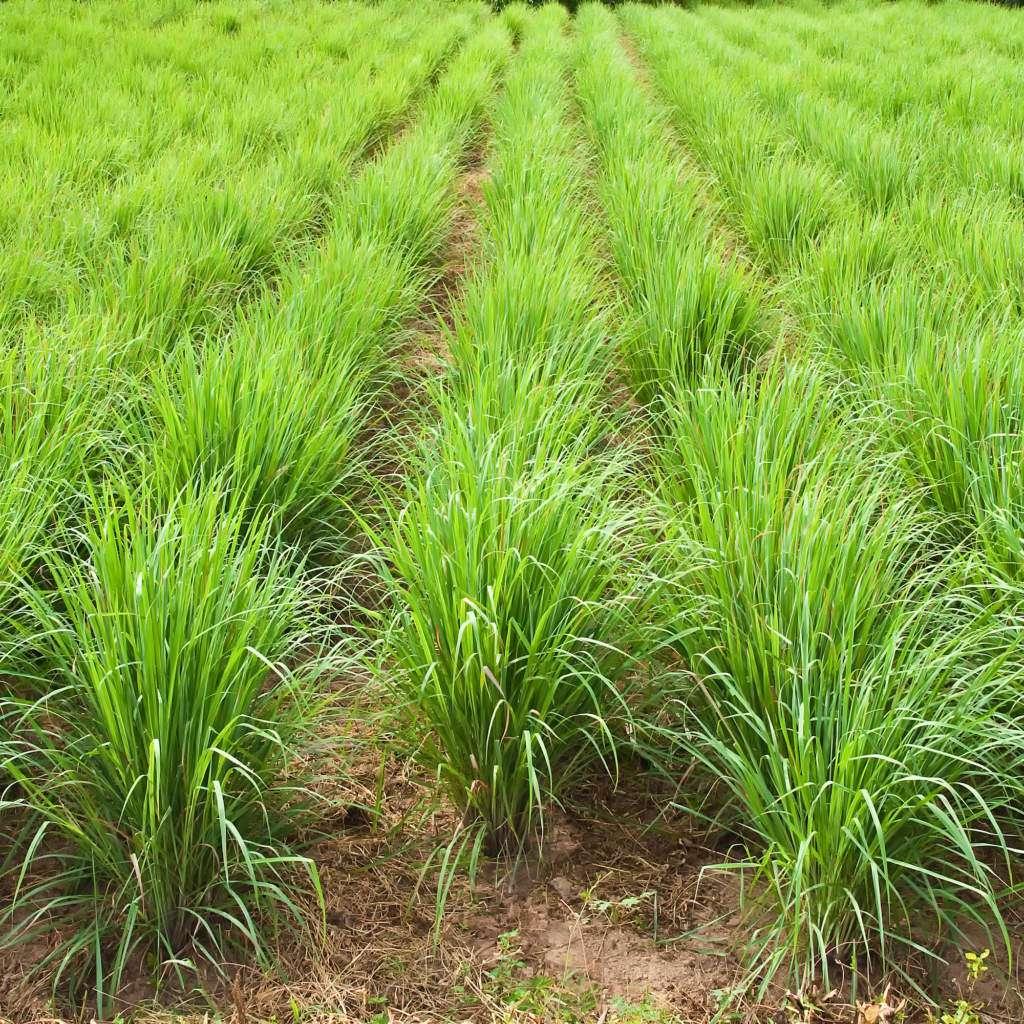 pole-trawy-cytrynowej-lemongrass.jpg