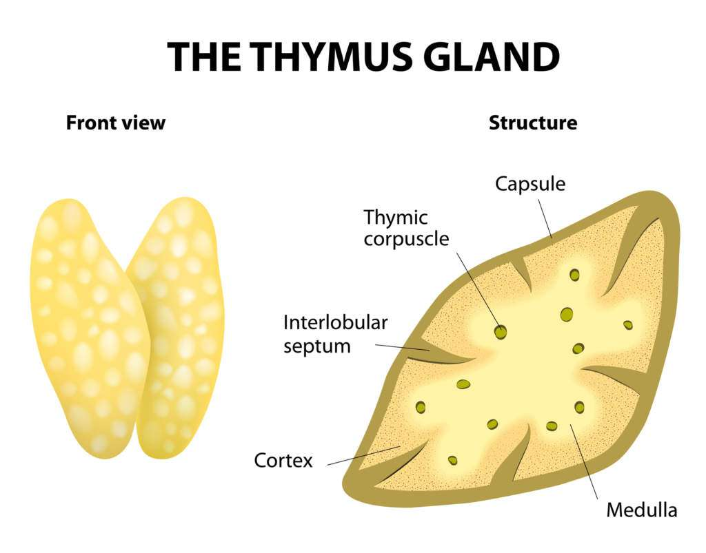 hormony-tymozyna.jpg