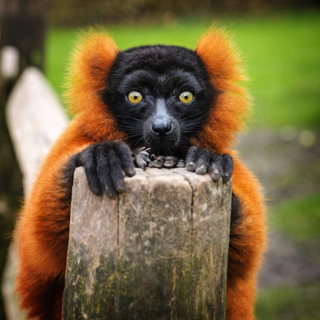 lemuria-lemur-wari.jpg