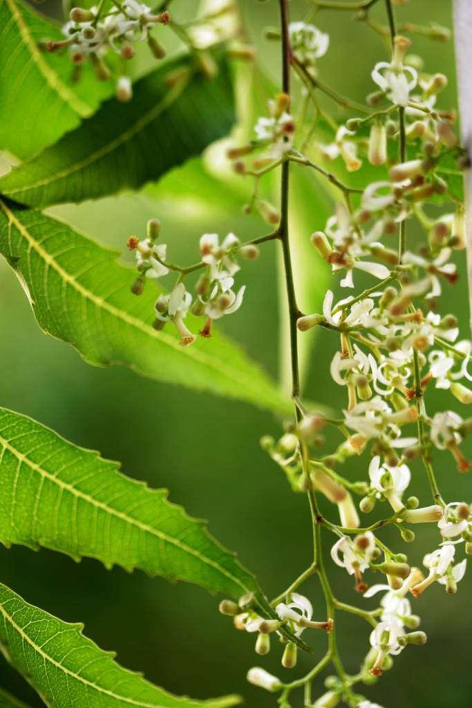 neem-miodla indyjska.jpg