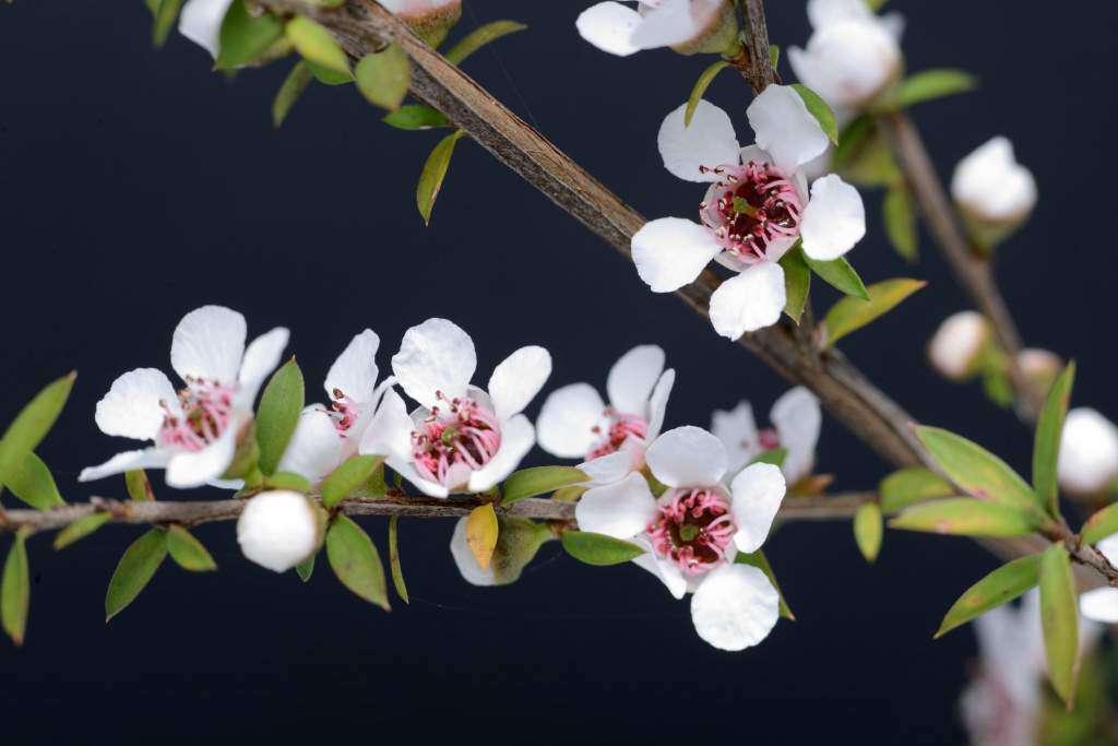 kwiaty-miód-manuka.jpg