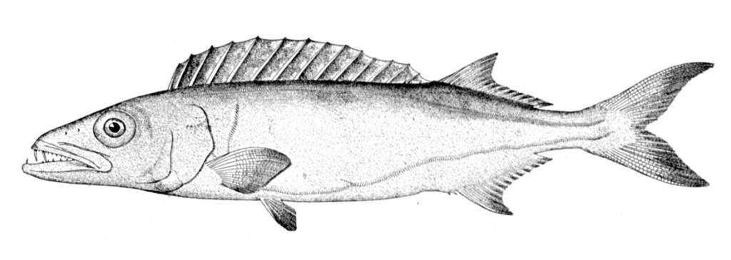 ryba-maślana.jpg