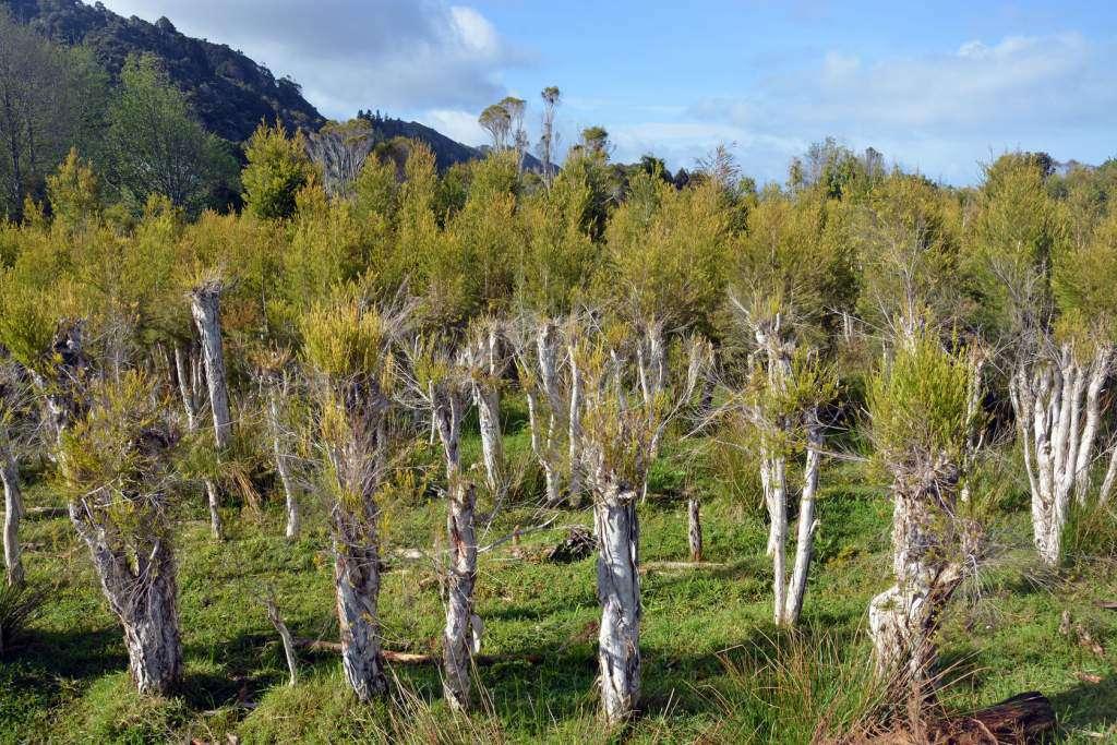 Olejek-z-drzewa-herbacianego.jpg