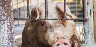 świnie-asf.jpg
