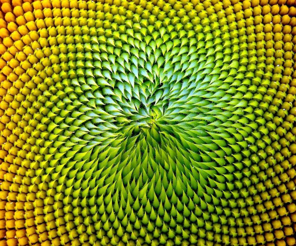 słonecznik.jpg