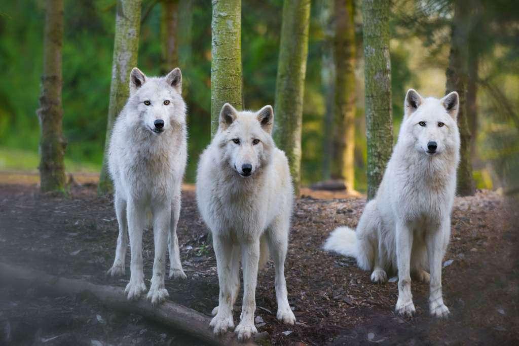 wilki-czerwona-nitka.jpg