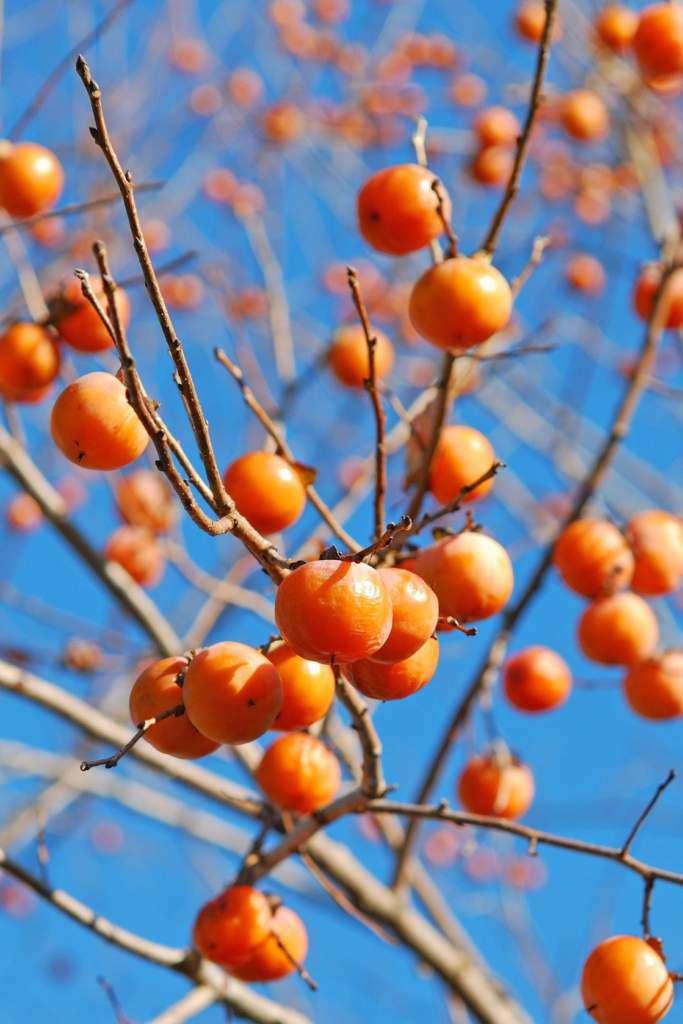 owoc-kaki.jpg