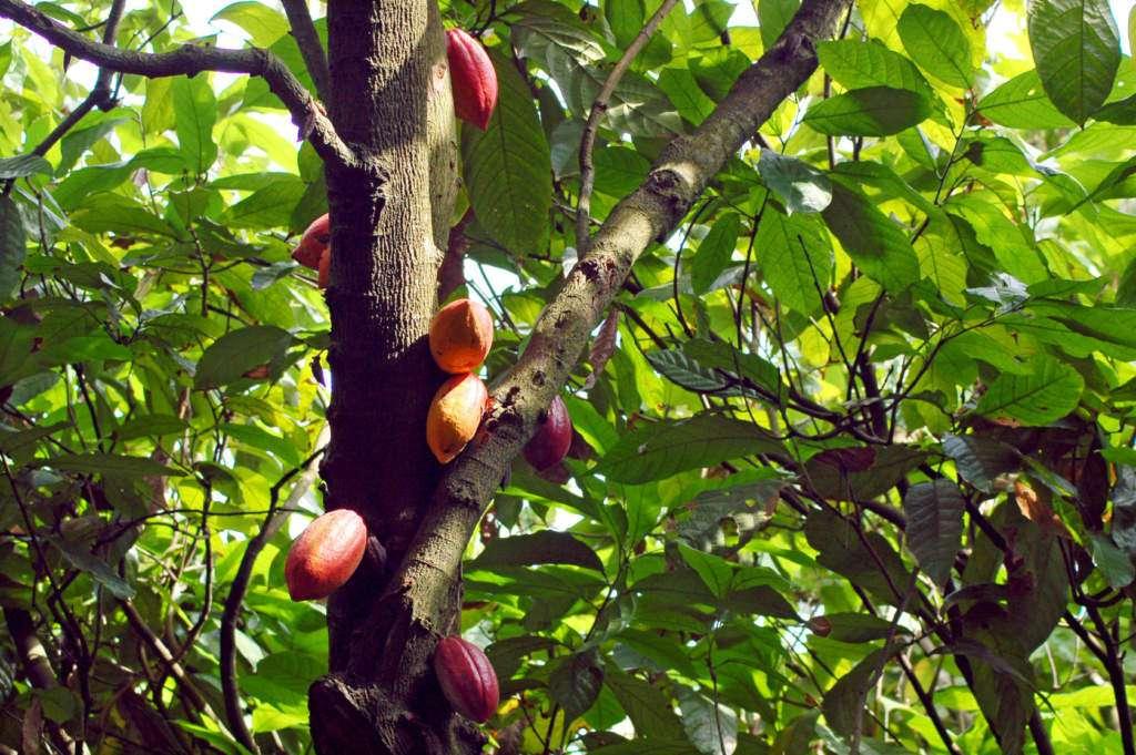 toksyczne-czekolady-kakaowiec.jpg