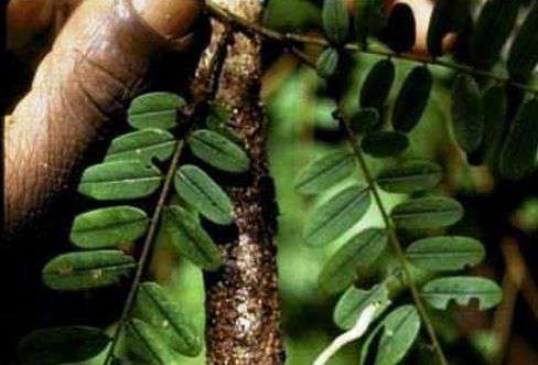 kora-śliwy-afrykańskiej.jpg