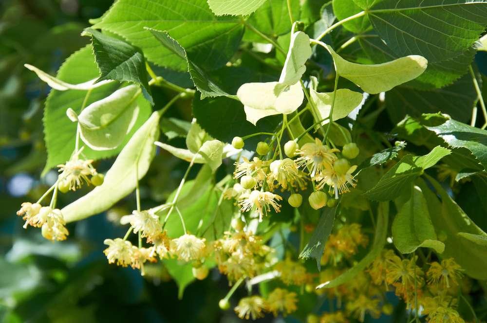kwiat-lipy.jpg