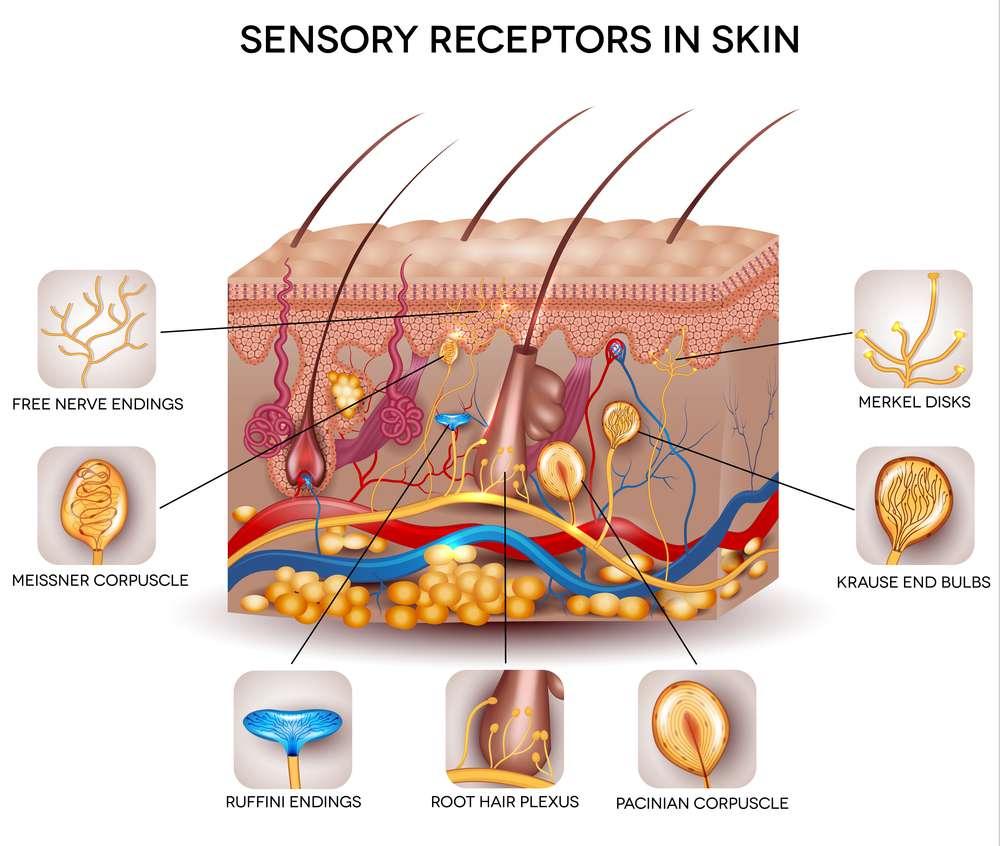 receptory-czuciowe.jpg