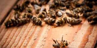 śmierć-pszczół.jpg
