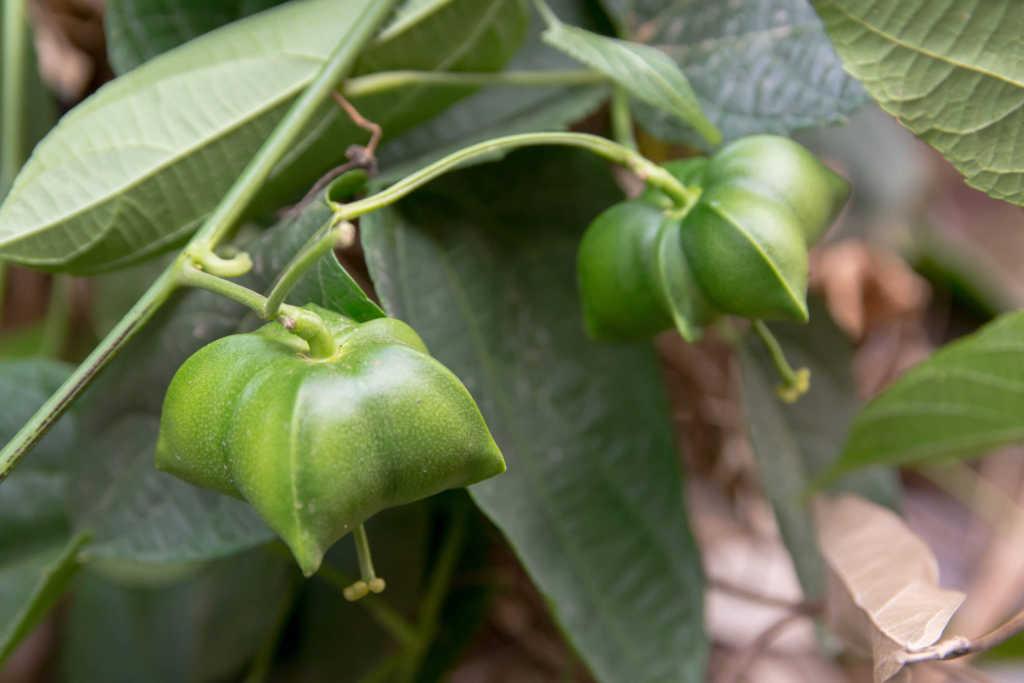 owoce-sacha-inchi.jpg
