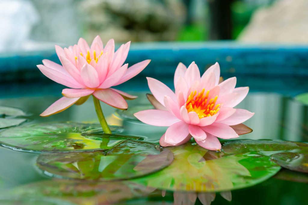 kwiat-lotosu.jpg
