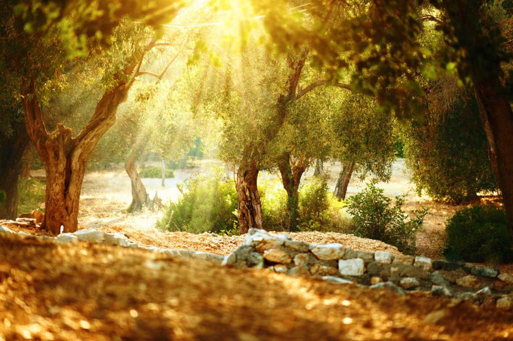 drzewo-oliwne.jpg