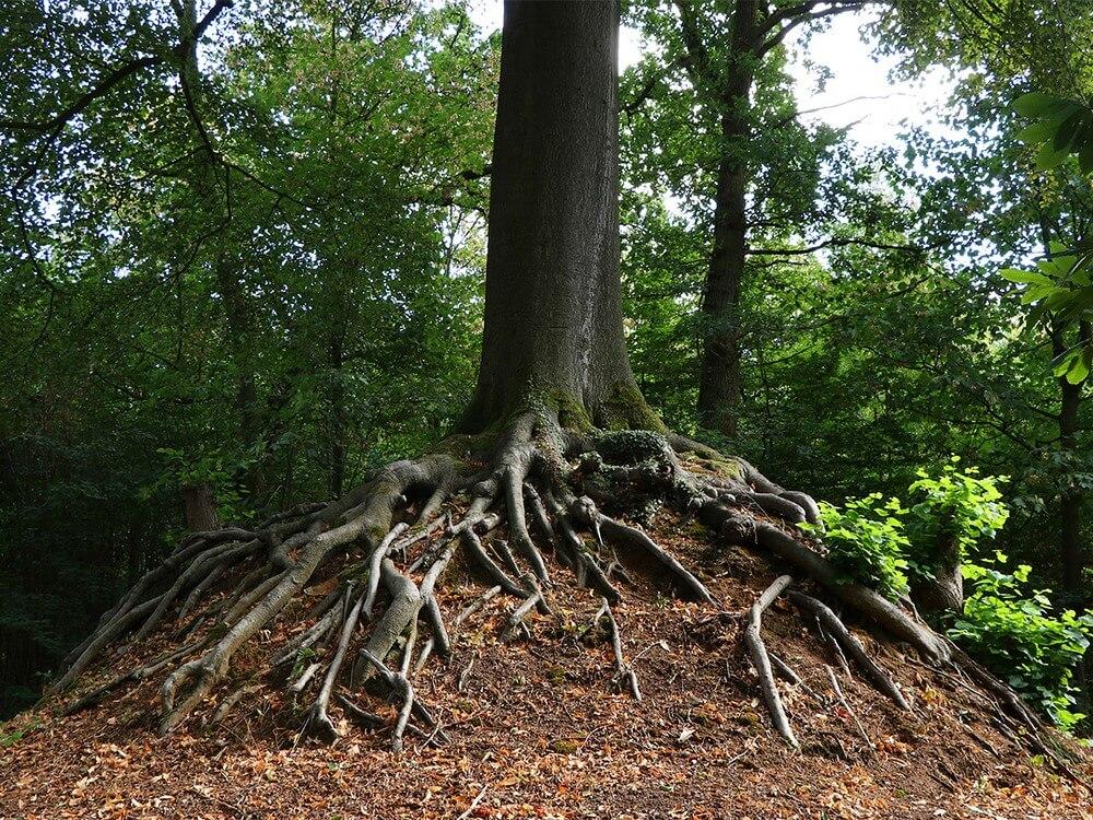drzewo-matki-boskiej.jpg