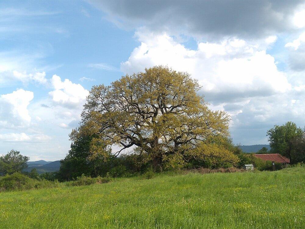 dąb-drzewo.jpg