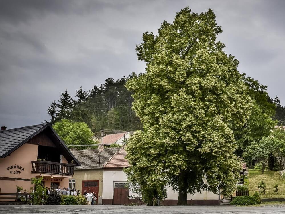 czeskie-drzewo-wolności.jpg
