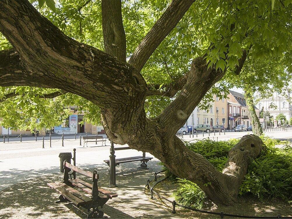 drzewo-krasnystaw.jpg