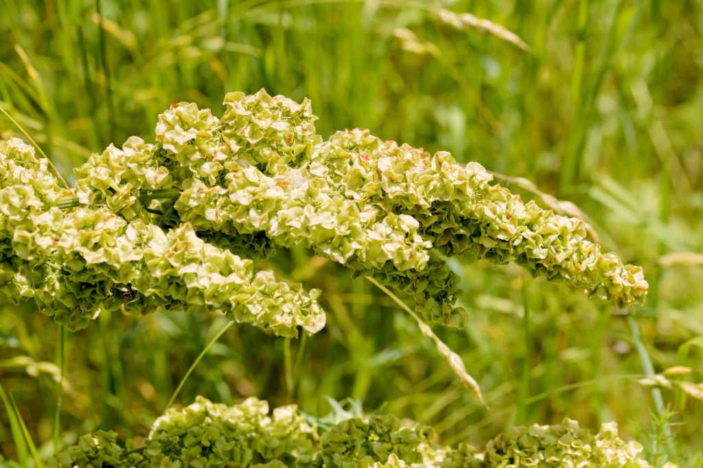 nasiona-kobylaka.jpg