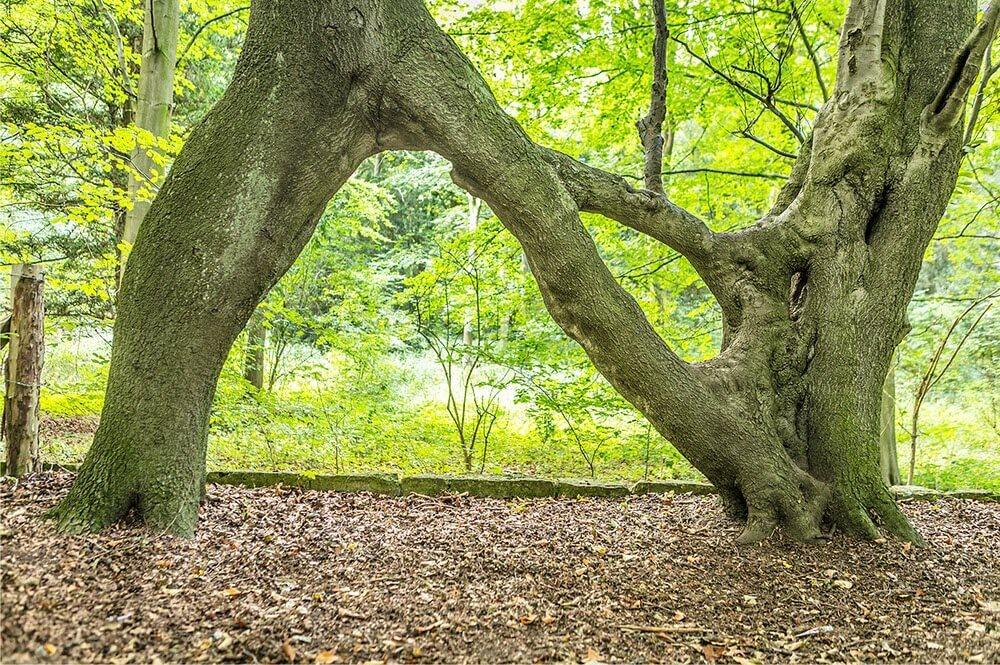 drzewo-nellie.jpg