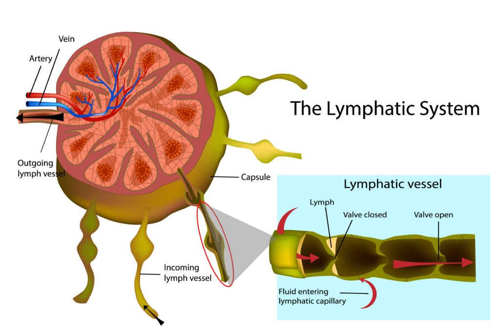 układ-limfatyczny.jpg