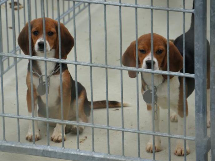 beagle-laboratorium.jpg