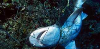 nurkowie-rekin-sieć.jpg