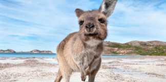 ocalona-kangurzyca.jpg