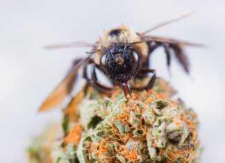 konopie-pszczoły.jpg