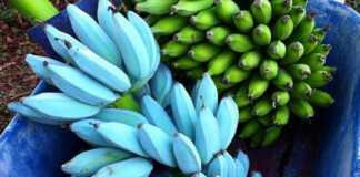 niebieskie-banany.jpg