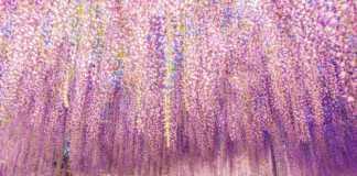 glicynia-różowa.jpg