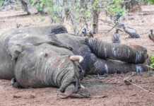 śmierć-słoni.jpg