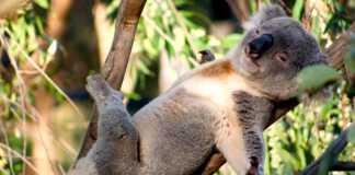 koala-wyginięcie.jpg
