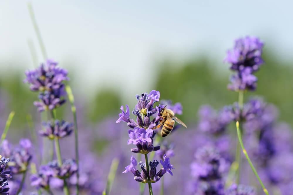 lawenda-pszczoły.jpg