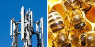 promieniowanie-bezprzewodowe-pszczoły.jpg