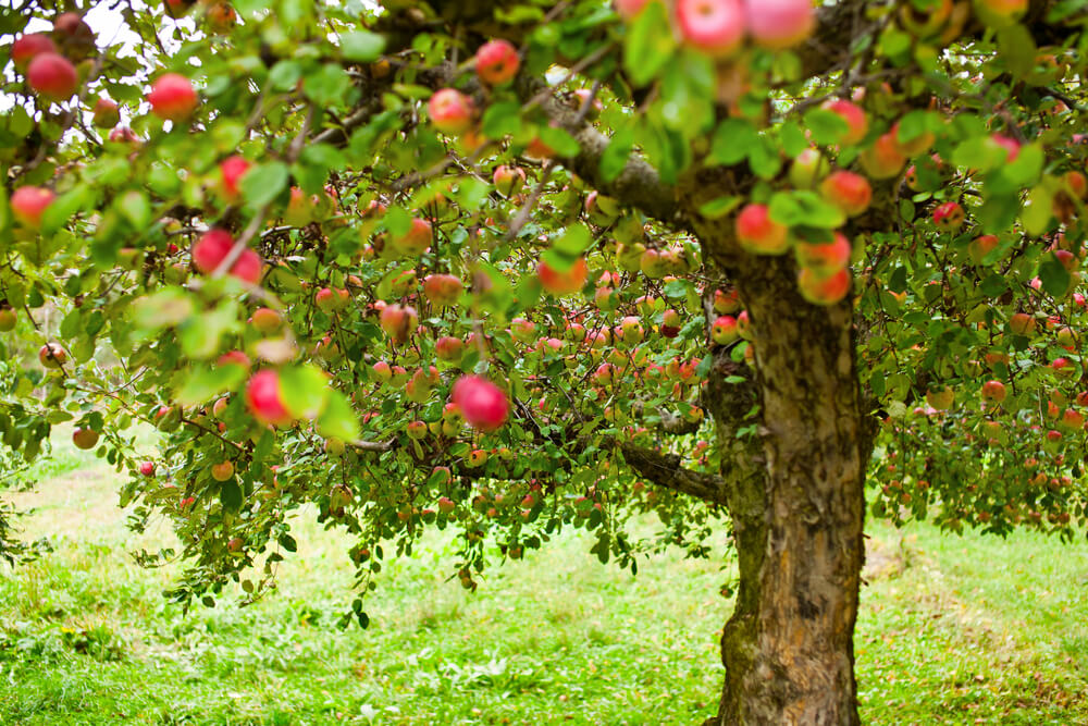 Jabłoń sad